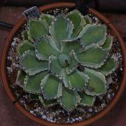 Agave sp. Kissho Kan